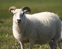 200px-Icelandic_sheep_summer_06